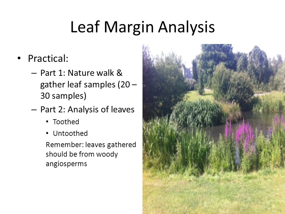 Leaf Margin Analysis Practical: – Part 1: Nature walk & gather leaf samples (20 – 30 samples) – Part 2: Analysis of leaves Toothed Untoothed Remember: