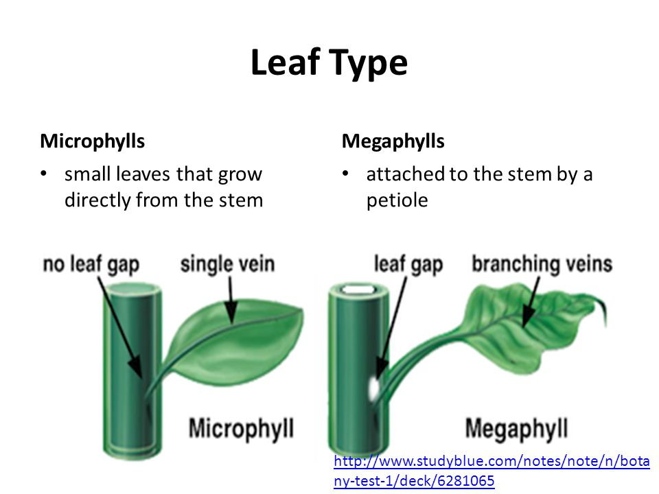 Leaf Type Microphylls small leaves that grow directly from the stem Megaphylls attached to the stem by a petiole http://www.studyblue.com/notes/note/n