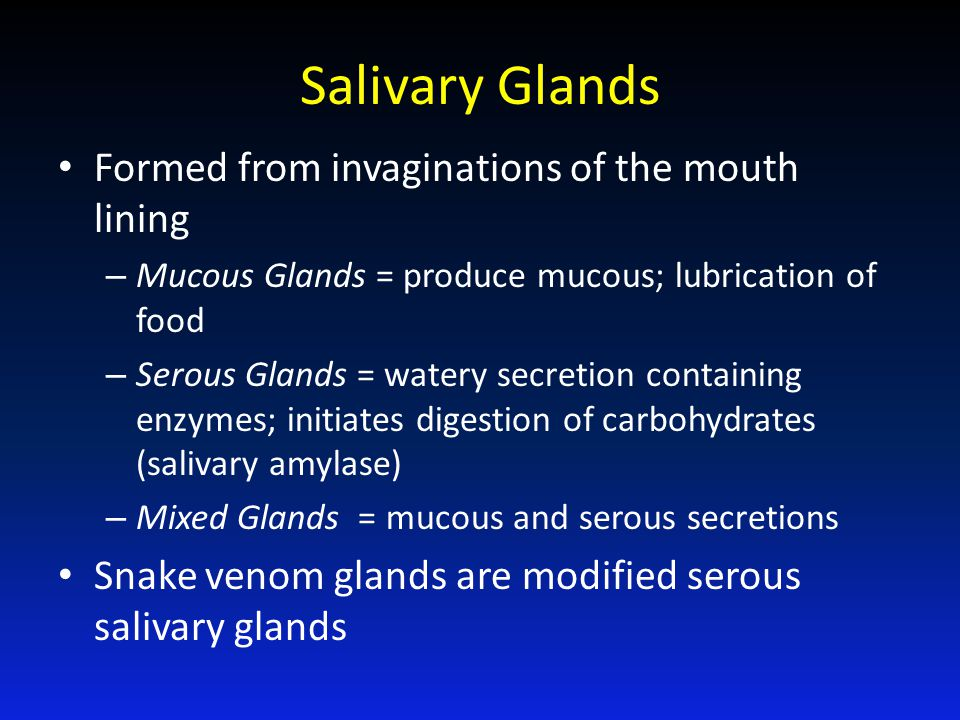 Salivary Glands Formed from invaginations of the mouth lining – Mucous Glands = produce mucous; lubrication of food – Serous Glands = watery secretion