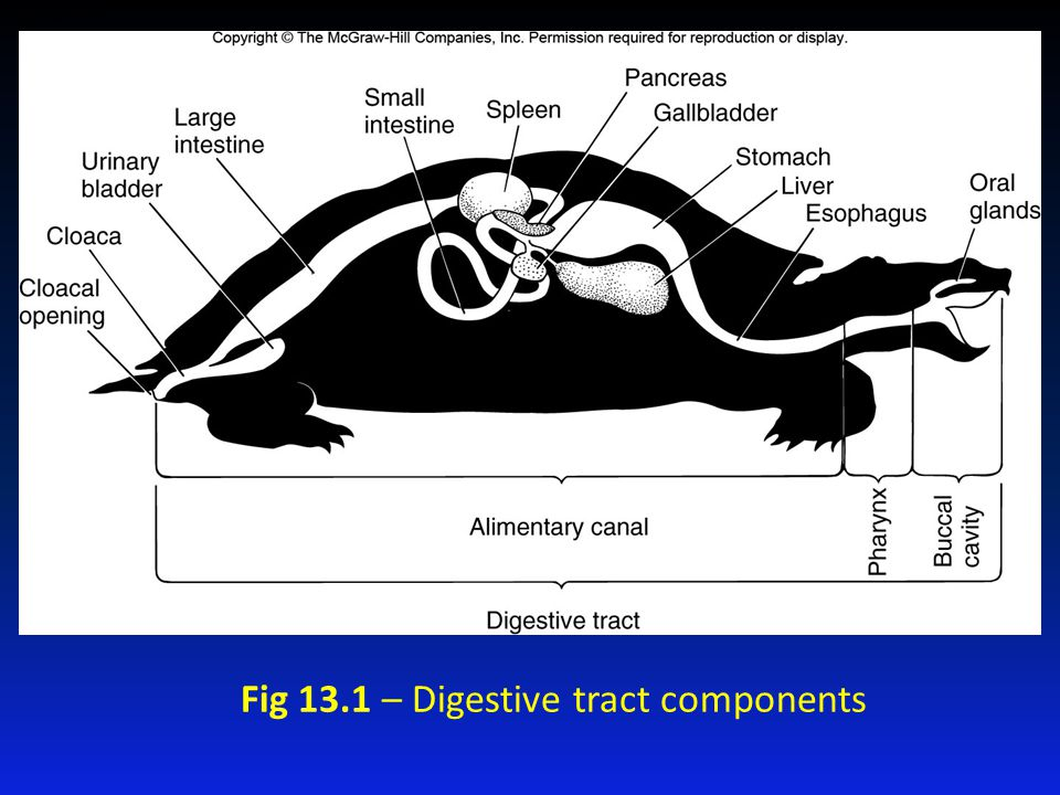 Figure 13.1 Fig 13.1 – Digestive tract components