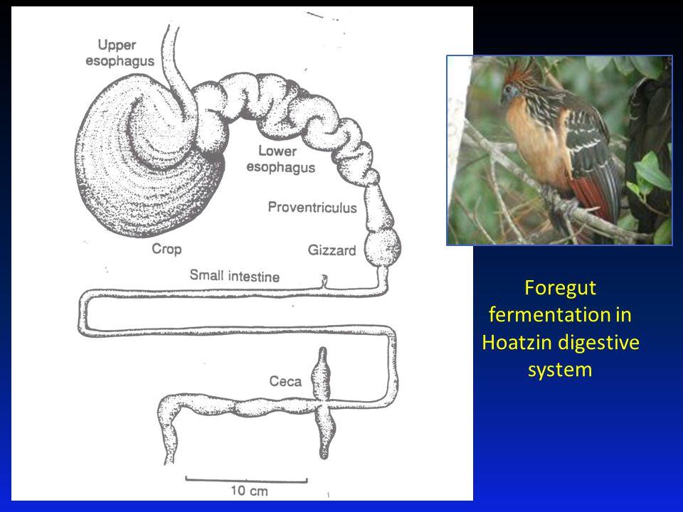 Foregut fermentation in Hoatzin digestive system