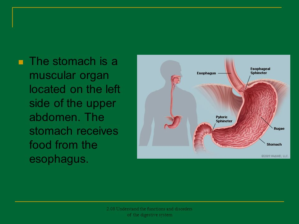 What are the are the functions of the stomach? What are the What are the functions of the stomach? functions of the stomach? What are the functions of