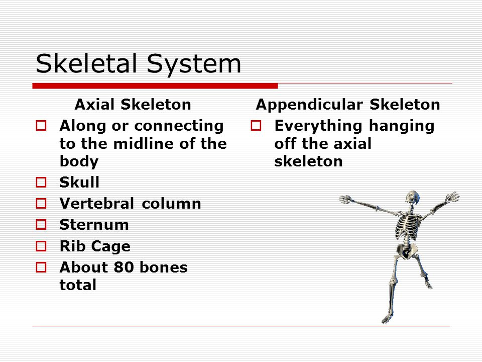 Skeletal System Axial Skeleton Along or connecting to the midline of the body Skull Vertebral column Sternum Rib Cage About 80 bones total Appendicula
