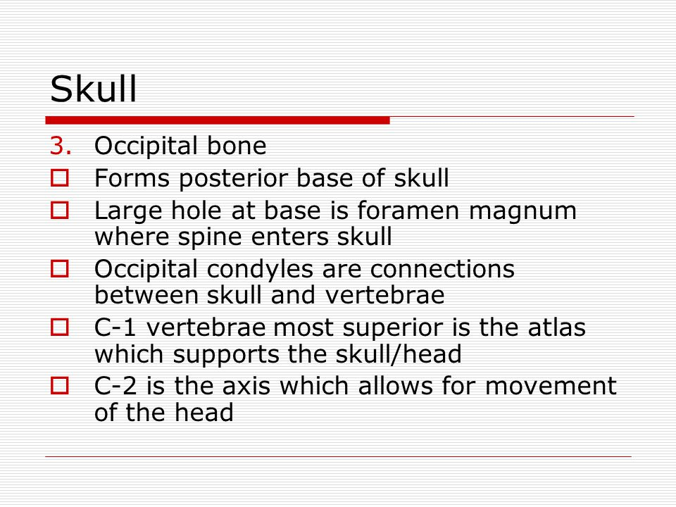 Skull 3.Occipital bone Forms posterior base of skull Large hole at base is foramen magnum where spine enters skull Occipital condyles are connections