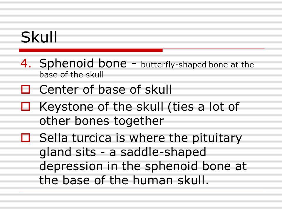 Skull 4.Sphenoid bone - butterfly-shaped bone at the base of the skull Center of base of skull Keystone of the skull (ties a lot of other bones togeth