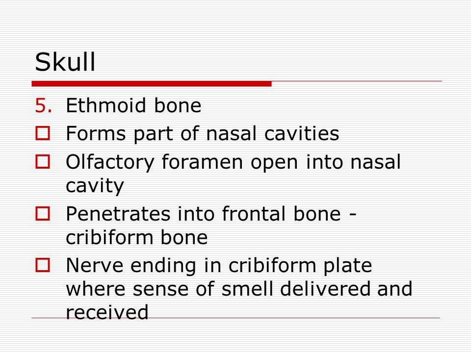 Skull 5.Ethmoid bone Forms part of nasal cavities Olfactory foramen open into nasal cavity Penetrates into frontal bone - cribiform bone Nerve ending