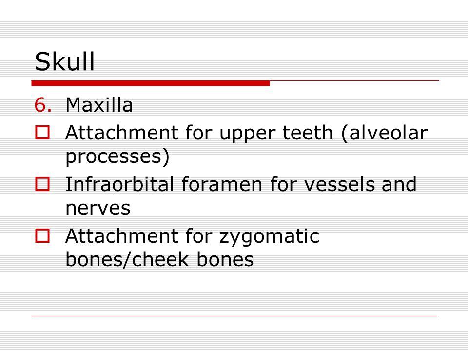 Skull 6.Maxilla Attachment for upper teeth (alveolar processes) Infraorbital foramen for vessels and nerves Attachment for zygomatic bones/cheek bones