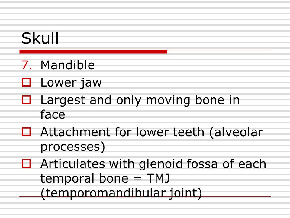 Skull 7.Mandible Lower jaw Largest and only moving bone in face Attachment for lower teeth (alveolar processes) Articulates with glenoid fossa of each