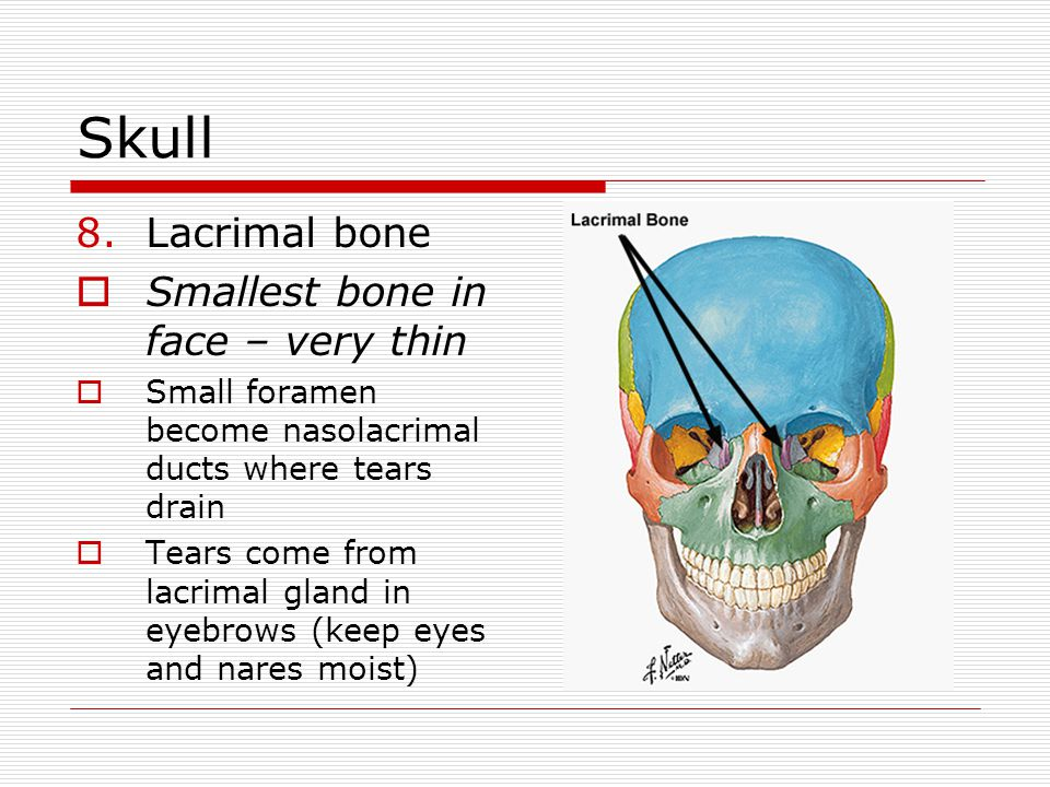 Skull 8.Lacrimal bone Smallest bone in face – very thin Small foramen become nasolacrimal ducts where tears drain Tears come from lacrimal gland in ey