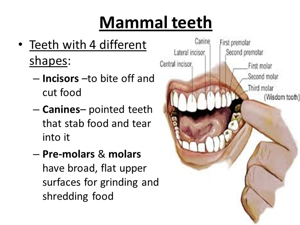 The size, shape, and hardness of a mammals teeth reflect its diet Ex.