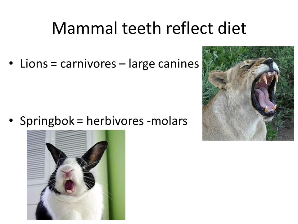 Mammal teeth reflect diet Lions = carnivores – large canines Springbok = herbivores -molars