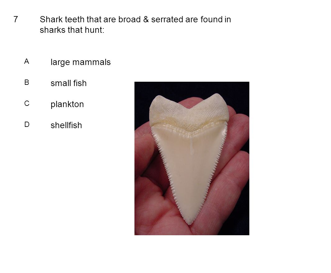 7Shark teeth that are broad & serrated are found in sharks that hunt: A large mammals B small fish C plankton D shellfish