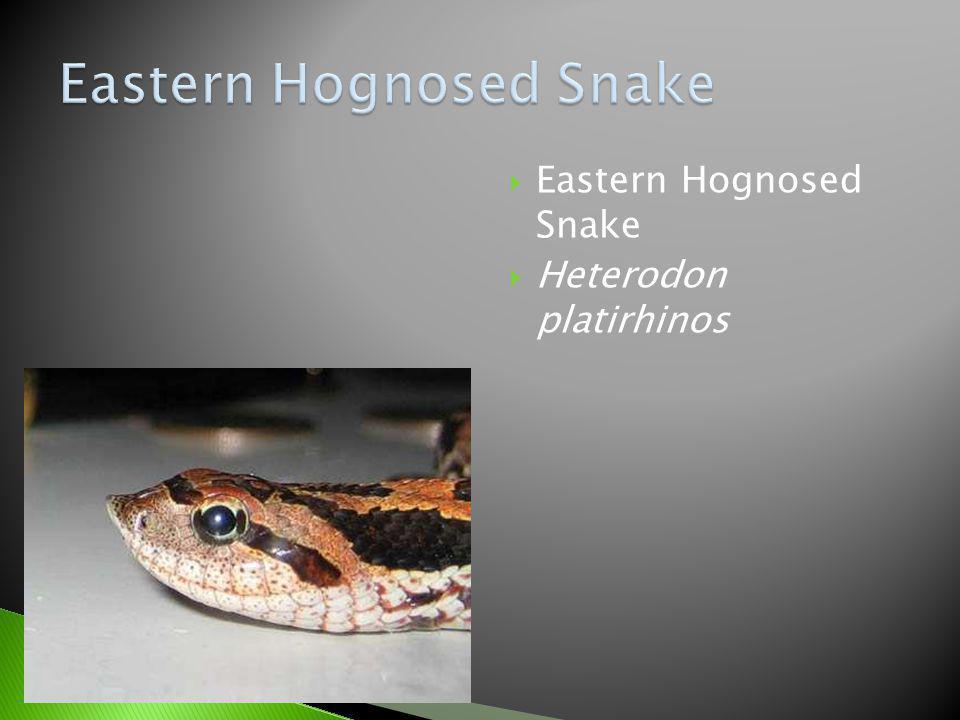 Eastern Hognosed Snake Heterodon platirhinos