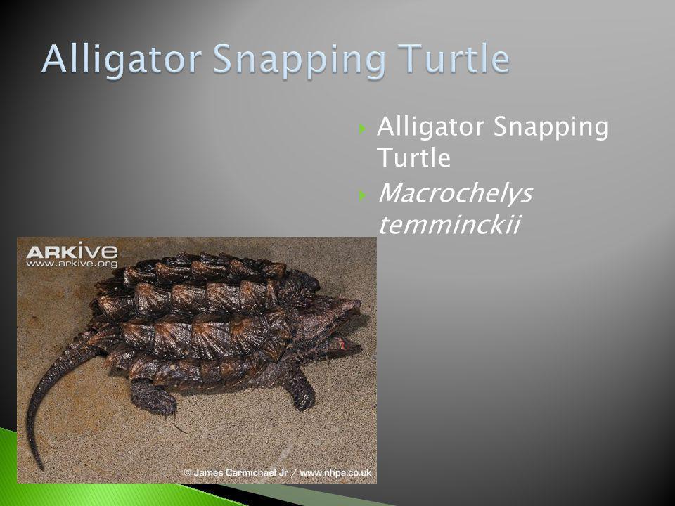 Alligator Snapping Turtle Macrochelys temminckii