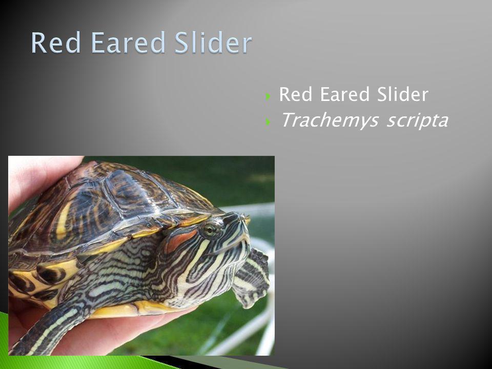Red Eared Slider Trachemys scripta