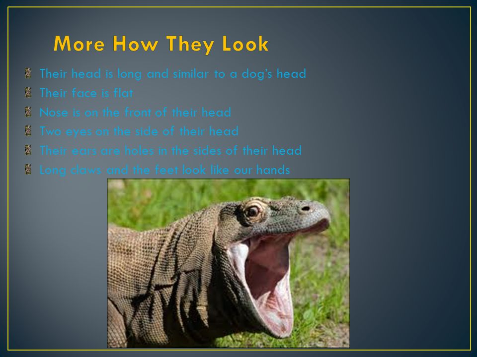 The komodo dragon is found only on the islands of central Indonesia, including Komodo, Rinca, Florece and Gili Montag.