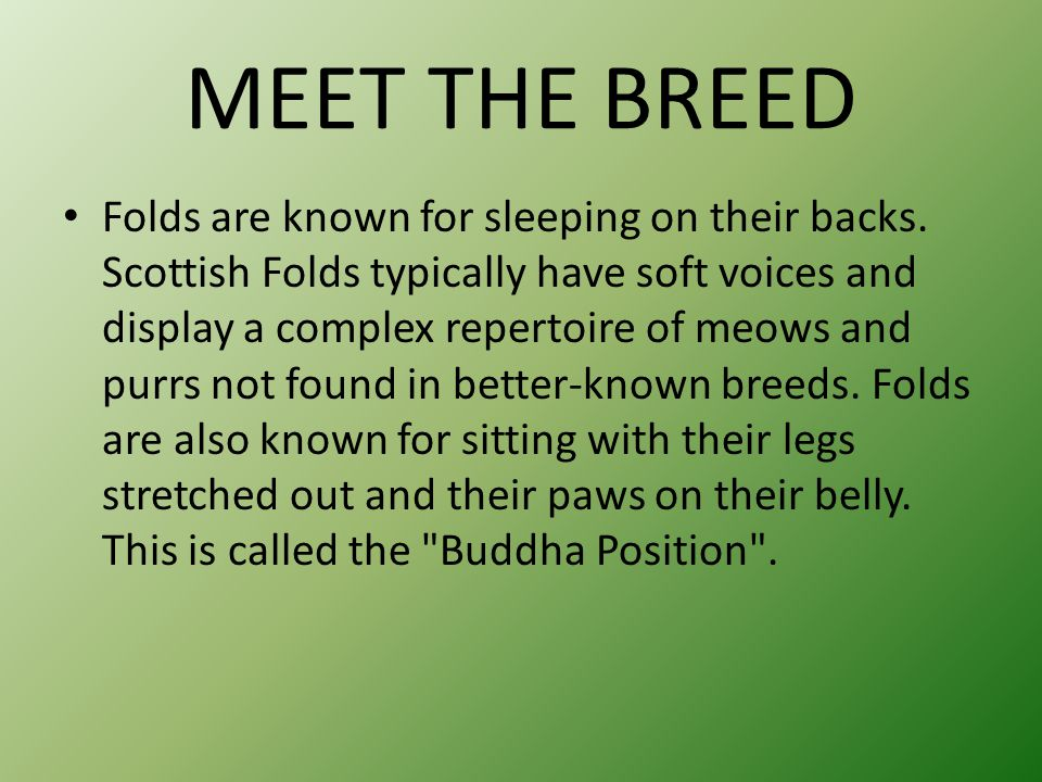 MEET THE BREED Folds are known for sleeping on their backs. Scottish Folds typically have soft voices and display a complex repertoire of meows and pu