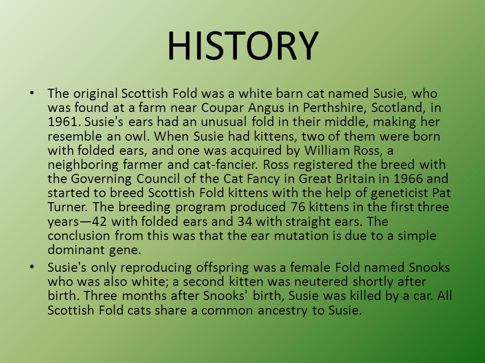 HISTORY The original Scottish Fold was a white barn cat named Susie, who was found at a farm near Coupar Angus in Perthshire, Scotland, in 1961.