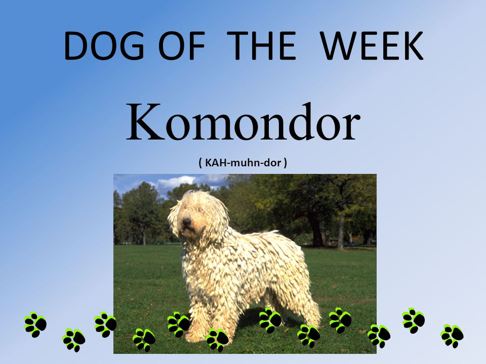 DOG OF THE WEEK Komondor ( KAH-muhn-dor )