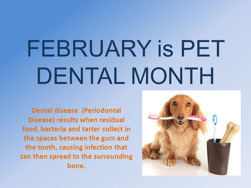 FEBRUARY is PET DENTAL MONTH Dental disease (Periodontal Disease) results when residual food, bacteria and tarter collect in the spaces between the gu