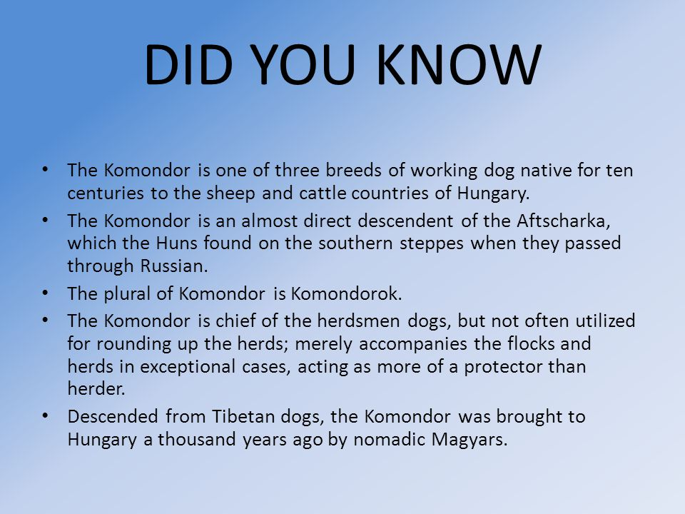 DID YOU KNOW The Komondor is one of three breeds of working dog native for ten centuries to the sheep and cattle countries of Hungary. The Komondor is
