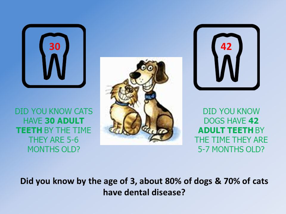 DID YOU KNOW DOGS HAVE 42 ADULT TEETH BY THE TIME THEY ARE 5-7 MONTHS OLD? 4230 DID YOU KNOW CATS HAVE 30 ADULT TEETH BY THE TIME THEY ARE 5-6 MONTHS