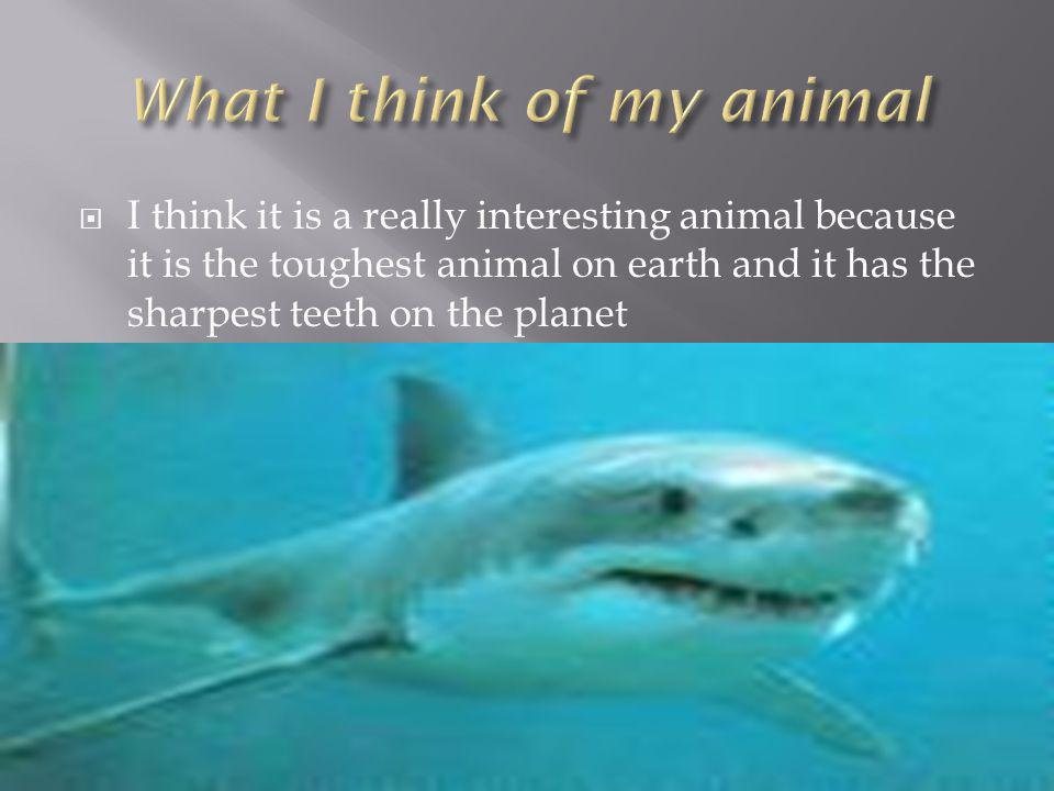 I think it is a really interesting animal because it is the toughest animal on earth and it has the sharpest teeth on the planet