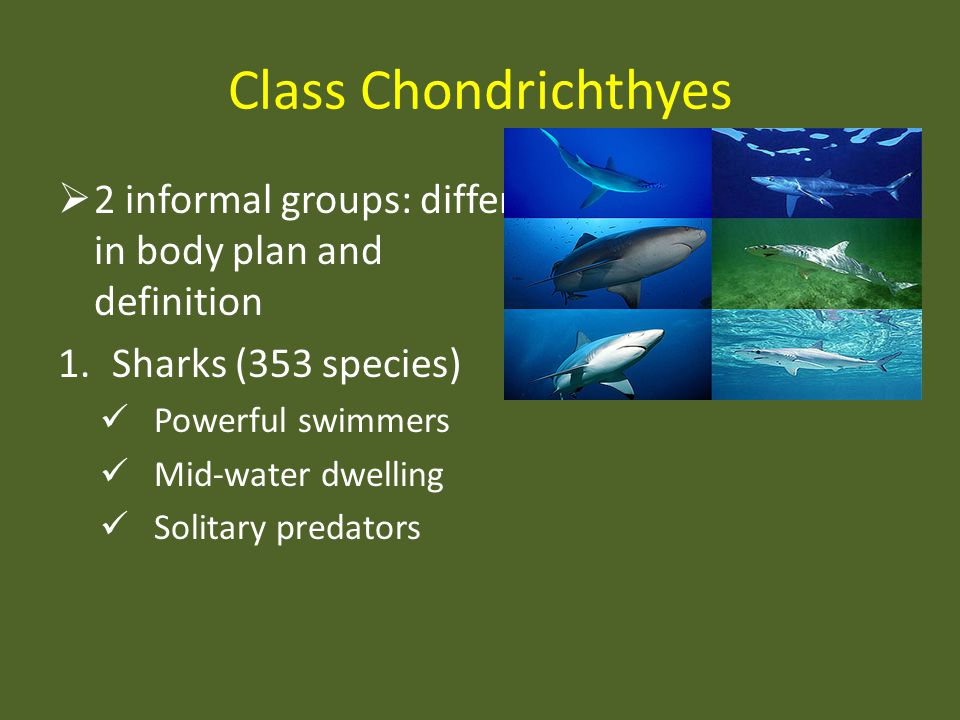 Class Chondrichthyes 2 informal groups: differ in body plan and definition 1.Sharks (353 species) Powerful swimmers Mid-water dwelling Solitary predat
