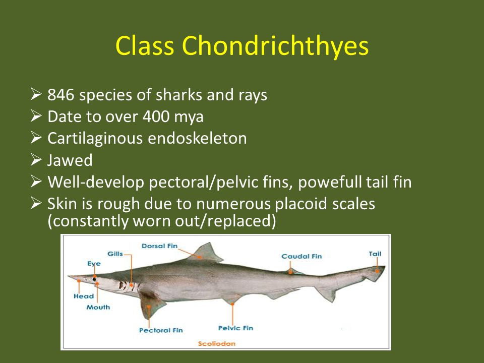 Class Chondrichthyes 846 species of sharks and rays Date to over 400 mya Cartilaginous endoskeleton Jawed Well-develop pectoral/pelvic fins, powefull