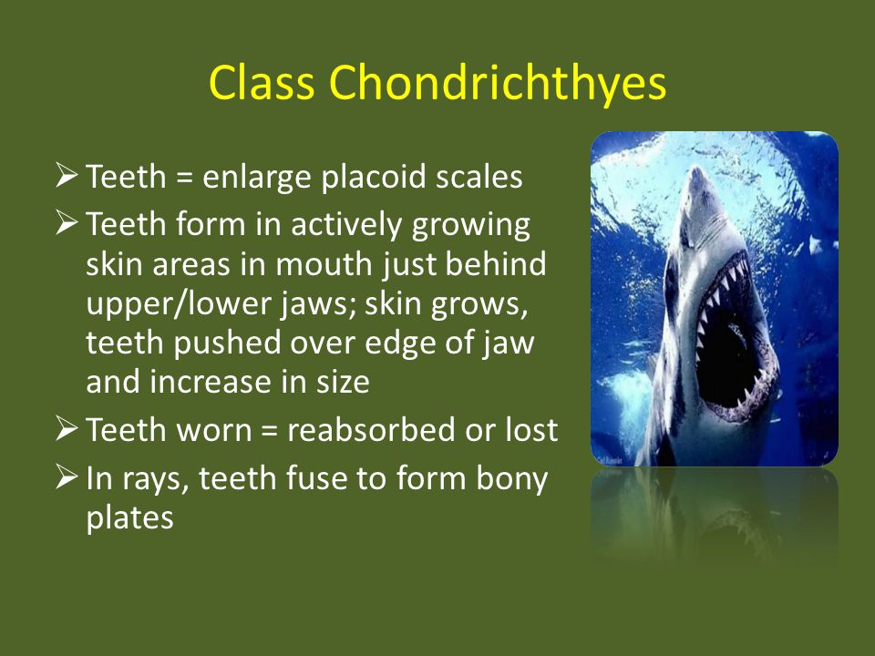 Class Chondrichthyes Teeth = enlarge placoid scales Teeth form in actively growing skin areas in mouth just behind upper/lower jaws; skin grows, teeth