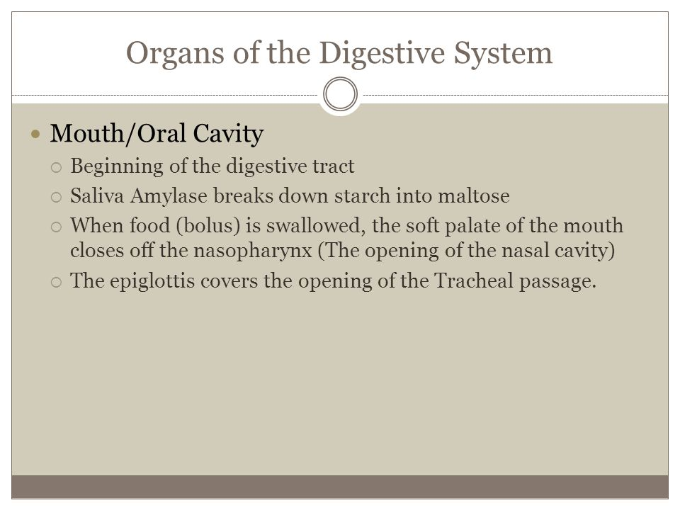 Organs of the Digestive System Mouth/Oral Cavity Beginning of the digestive tract Saliva Amylase breaks down starch into maltose When food (bolus) is swallowed, the soft palate of the mouth closes off the nasopharynx (The opening of the nasal cavity) The epiglottis covers the opening of the Tracheal passage.