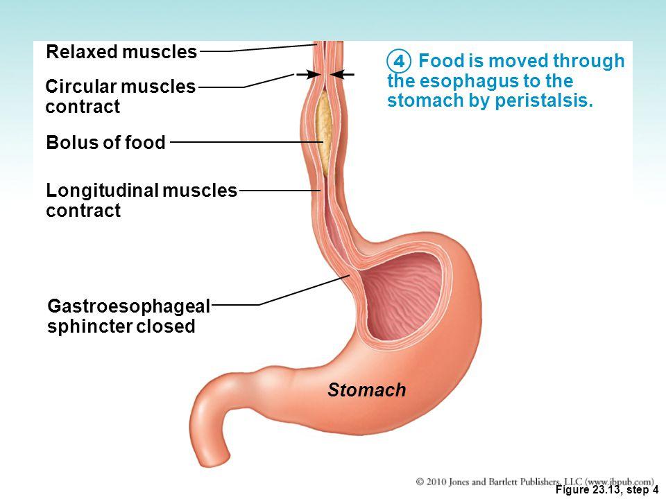 Gastroesophageal Sphincter Gastroesophageal sphincter