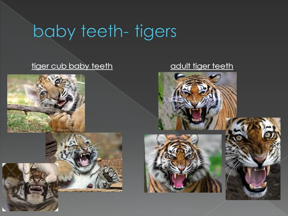 tiger cub baby teeth adult tiger teeth