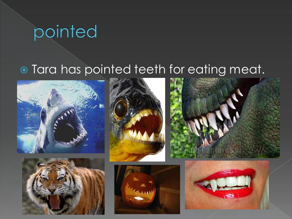 Tara has pointed teeth for eating meat.
