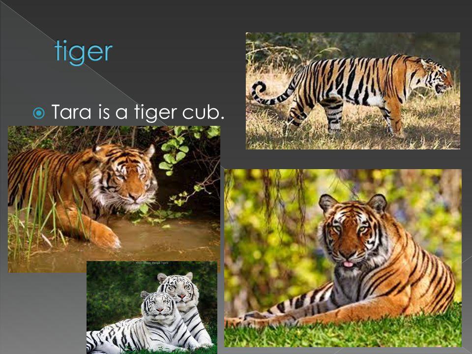 Tara is a tiger cub.