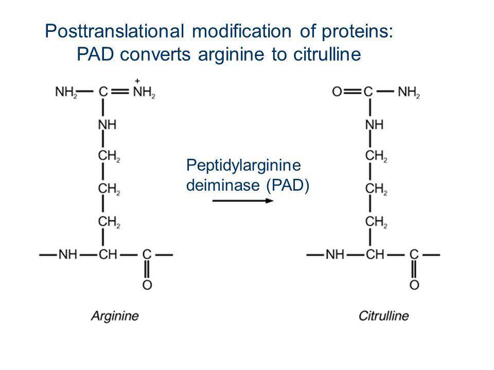 Posttranslational modification of proteins: PAD converts arginine to citrulline Peptidylarginine deiminase (PAD)