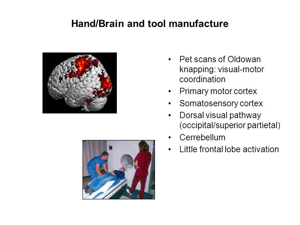 Hand/Brain and tool manufacture Pet scans of Oldowan knapping: visual-motor coordination Primary motor cortex Somatosensory cortex Dorsal visual pathw