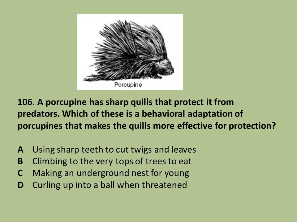 106. A porcupine has sharp quills that protect it from predators. Which of these is a behavioral adaptation of porcupines that makes the quills more e