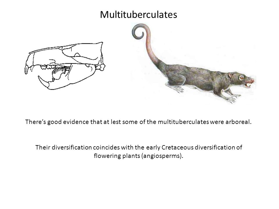 Multituberculates Theres good evidence that at lest some of the multituberculates were arboreal. Their diversification coincides with the early Cretac