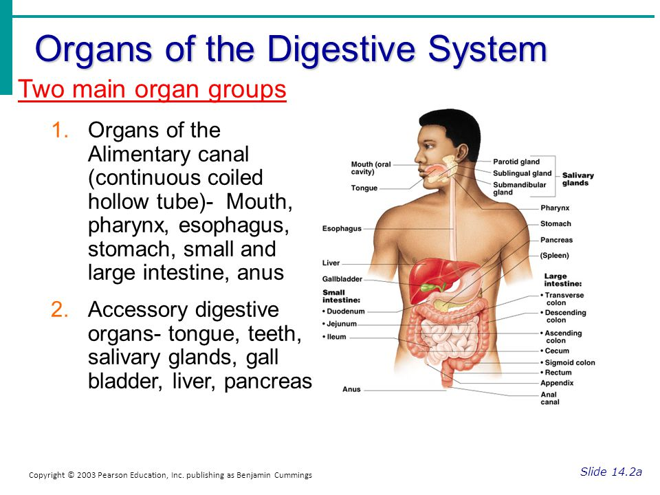 Organs of the Digestive System Slide 14.2a Copyright © 2003 Pearson Education, Inc. publishing as Benjamin Cummings Two main organ groups 1.Organs of