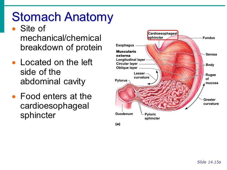 Stomach Anatomy Slide 14.15a Site of mechanical/chemical breakdown of protein Located on the left side of the abdominal cavity Food enters at the card