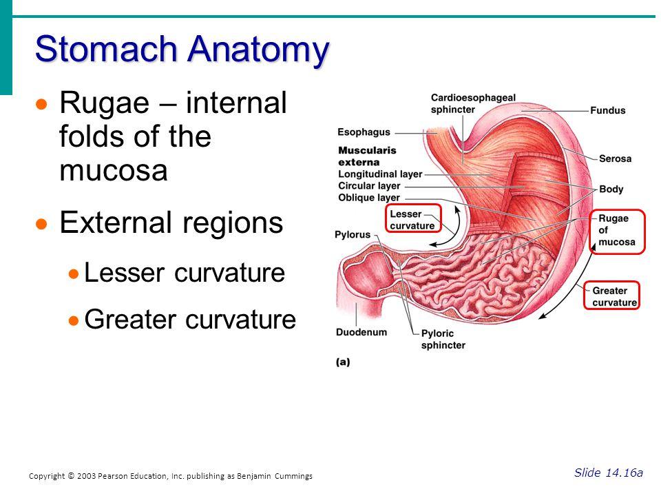 Stomach Anatomy Slide 14.16a Copyright © 2003 Pearson Education, Inc. publishing as Benjamin Cummings Rugae – internal folds of the mucosa External re