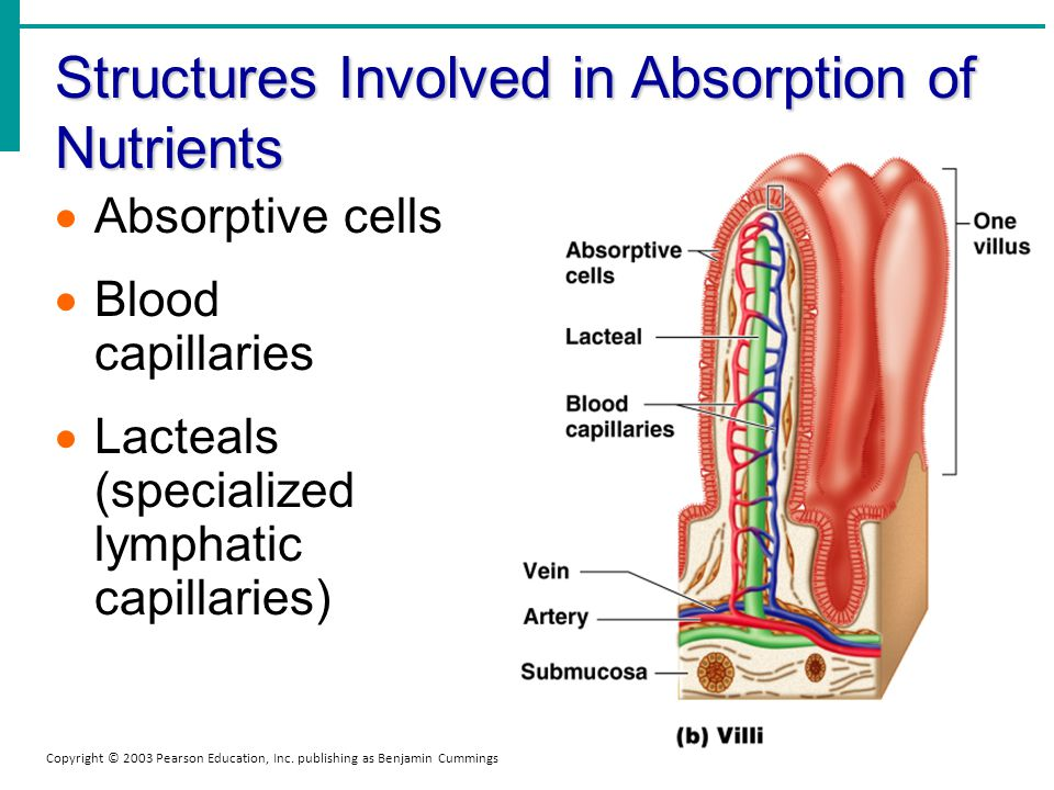 Structures Involved in Absorption of Nutrients Copyright © 2003 Pearson Education, Inc. publishing as Benjamin Cummings Absorptive cells Blood capilla
