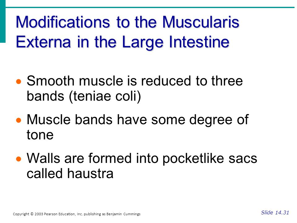Modifications to the Muscularis Externa in the Large Intestine Slide 14.31 Copyright © 2003 Pearson Education, Inc. publishing as Benjamin Cummings Sm