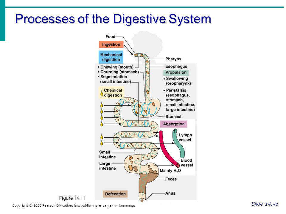Processes of the Digestive System Slide 14.46 Copyright © 2003 Pearson Education, Inc. publishing as Benjamin Cummings Figure 14.11