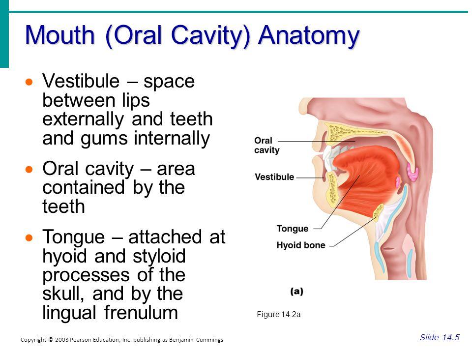 Mouth (Oral Cavity) Anatomy Slide 14.5 Copyright © 2003 Pearson Education, Inc. publishing as Benjamin Cummings Vestibule – space between lips externa