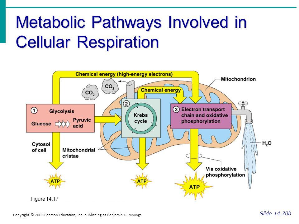 Metabolic Pathways Involved in Cellular Respiration Slide 14.70b Copyright © 2003 Pearson Education, Inc. publishing as Benjamin Cummings Figure 14.17