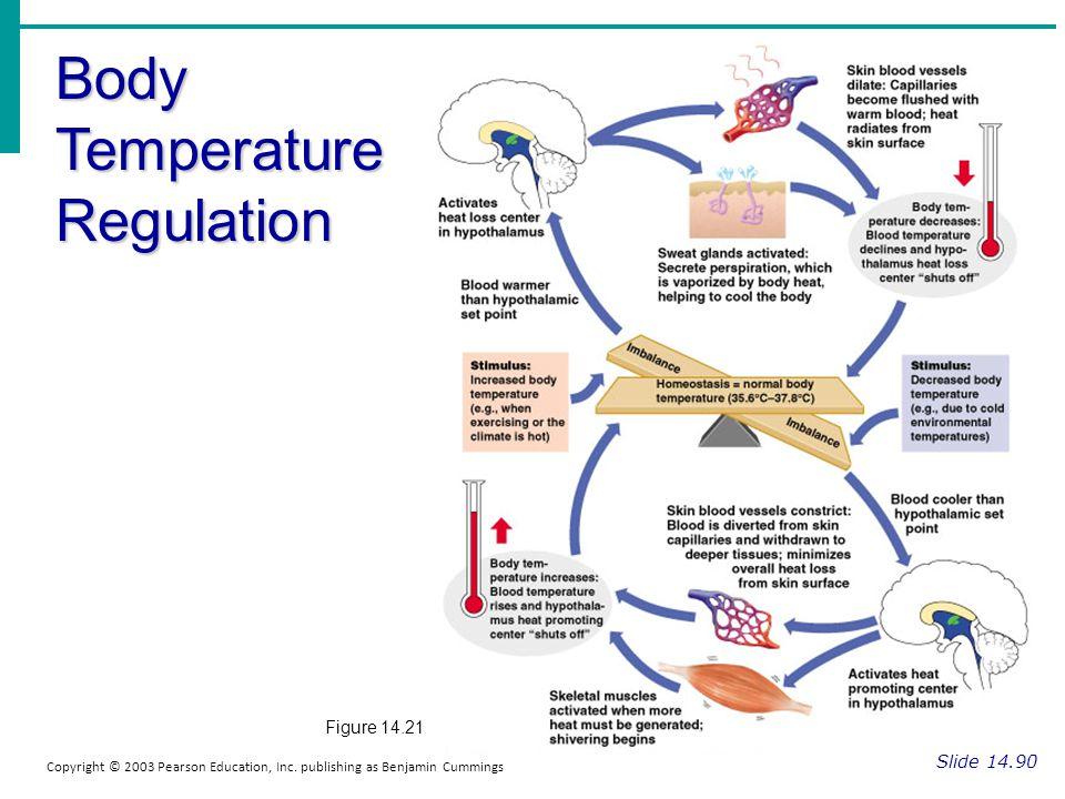 Body Temperature Regulation Slide 14.90 Copyright © 2003 Pearson Education, Inc. publishing as Benjamin Cummings Figure 14.21