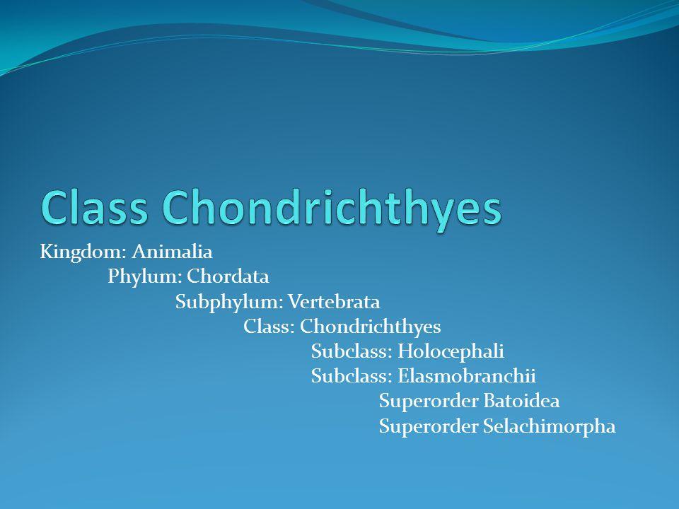 Kingdom: Animalia Phylum: Chordata Subphylum: Vertebrata Class: Chondrichthyes Subclass: Holocephali Subclass: Elasmobranchii Superorder Batoidea Superorder Selachimorpha
