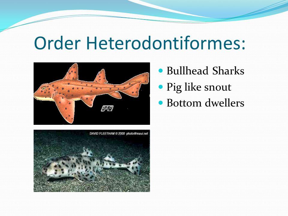 Order Heterodontiformes: Bullhead Sharks Pig like snout Bottom dwellers